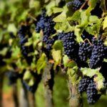 Виноградарска песма