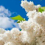Виктор Супрунчук: Цветао је бели јоргован